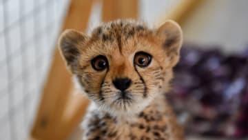 حصري لـCNN.. تهريب الفهود إلى أثرياء خليجيين يهدد بانقراضها