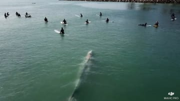 لحظة مرور حوت عملاق وسط مجموعة من راكبي الأمواج