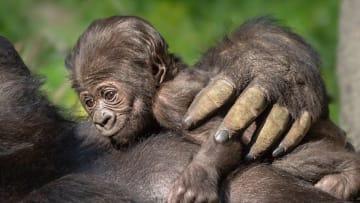 """ولادة """"تاريخية"""" لطفلة غوريلا في حديقة حيوانات بأمريكا"""