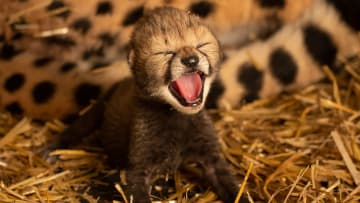 اثنان من أشبال الفهد يصنعان التاريخ في حديقة حيوانات بأمريكا