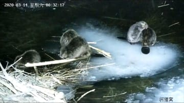 """فيديو نادر لعائلة من حيوانات القندس تتناول """"العشاء"""" مجتمعة لـ6 ساعات"""