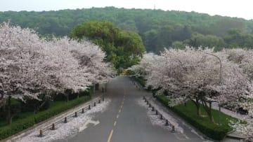 أزهار الكرز في ووهان الصينية تستعد لإنهاء الإغلاق بسبب فيروس كورونا