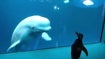 لحظة زيارة بطريق حيتانا بيضاء في حوض أسماك مغلق بسبب كورونا