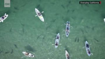 شاهد.. قوارب كاياك تحاول ايجاد طريقها في بحر من أسماك قرش النمر