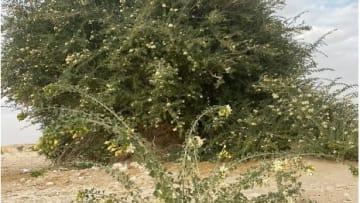 لم تُسجل سابقا في دول الخليج.. توثيق شجرة فريدة من نوعها في سلطنة عُمان