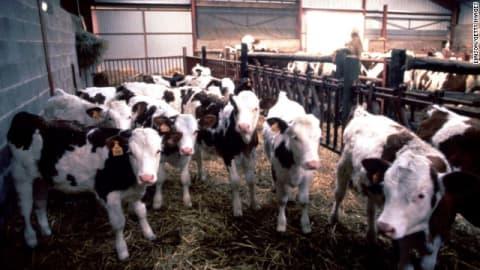 اعتلال دماغي مميت بين الماشية.. إليك حقائق سريعة عن مرض جنون البقر