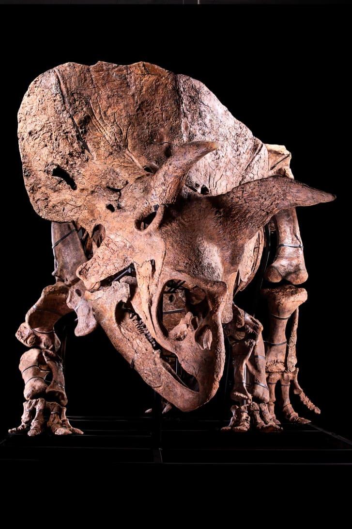 أكبر ديناصور ثلاثي القرون معروض للبيع.. كم يقدر ثمنه؟