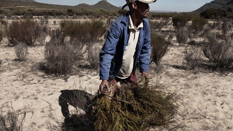 """ازدهار تجارة نبتة """"ريد بوش"""" في جنوب أفريقيا"""