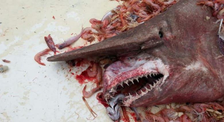 """صياد جمبري يمسك بـ  """"العفريت"""" .. القرش الأبشع والأشرس"""
