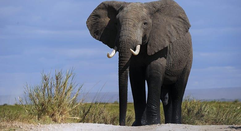 فيل يسحق حتى الموت طبيبا كان يرعاه