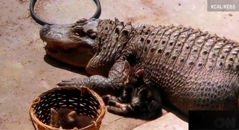 """بعد أربعين عاما  كـ""""حيوان أليف"""" ... السلطات تعتقل """"التمساح جاكسون"""" بلوس أنجلوس"""