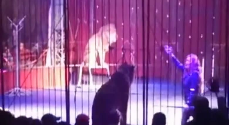 """بالفيديو.. أسد يهاجم مدربته في مصر أثناء رقصها على أنغام """"بشرة خير"""""""
