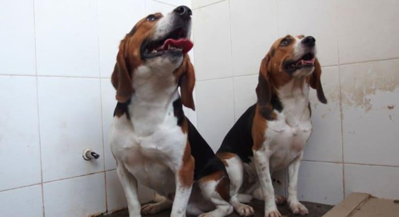 """كلبان معدلان وراثيا """"أقوى بمرتين"""" من طبيعتهما.. وعلماء: قد يساعد على الشفاء من مرض """"باركينسون"""""""