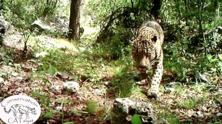 """بالفيديو: مشهد نادر للنمر الأمريكي """" الجاغوار"""" في البرية"""