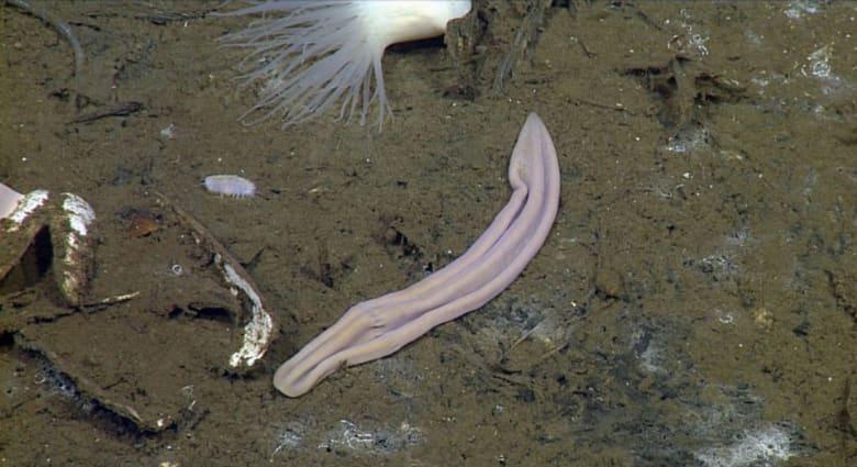 جورب مستعمل؟ كلا.. تعرفوا على أقدم أنواع الديدان يعيش وسط ظلام عمق المحيطات