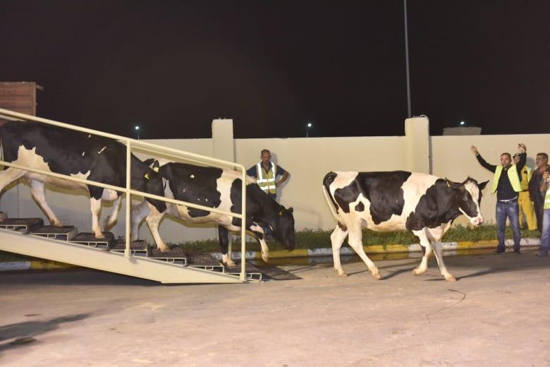 """شركة """"بلدنا"""" لـCNN: أولى دفعات الأبقار المستوردة تصل الدوحة عبر الخطوط الجوية القطرية"""