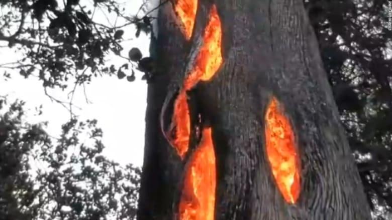 شاهد.. احتراق قلب شجرة وقشرتها سليمة