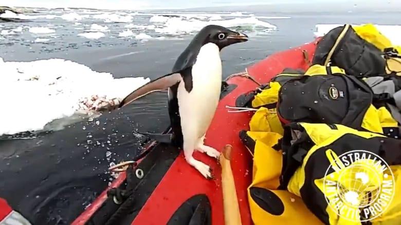 شاهد.. بطريق يفاجىء مصور على متن قارب أسترالي