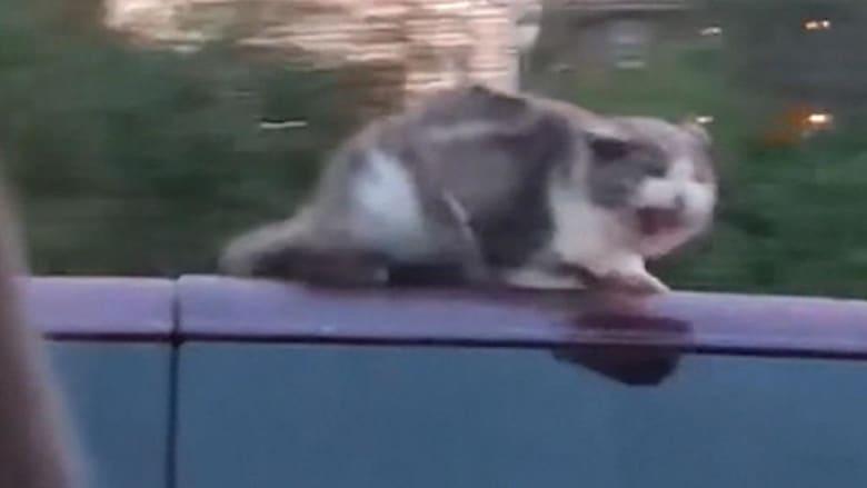 شاهد.. قطة تتشبث بسطح سيارة تسير بسرعة 100 كلم/ساعة