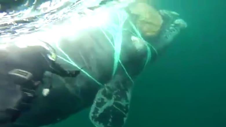 قوات بحرية تتدخل لإنقاذ حوت عالق في شبكة صيد