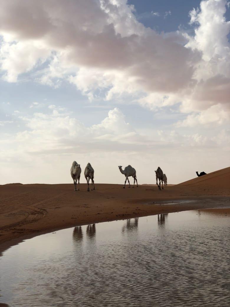 وسط صحراء السعودية.. انعكاسات الإبل الجميلة وهي ترتوي بتزامن من بُحيرات المياه