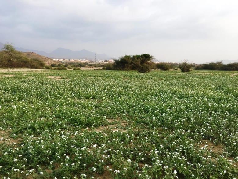 """أزهار """"السعادة"""" تفترش أرض السعودية.. فما سبب تسميتها؟"""
