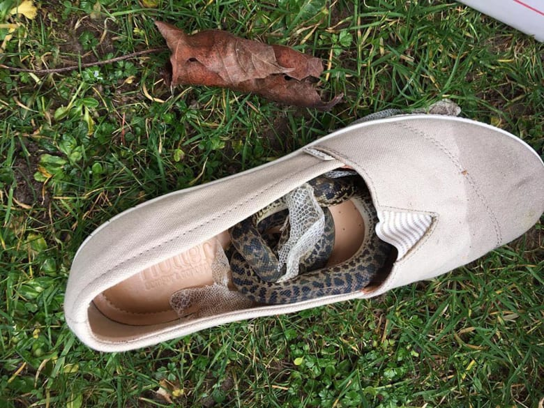 ثعبان يسافر لـ9 آلاف ميل في داخل حذاء امرأة