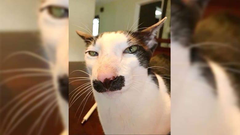 القط سي عبد الجليل
