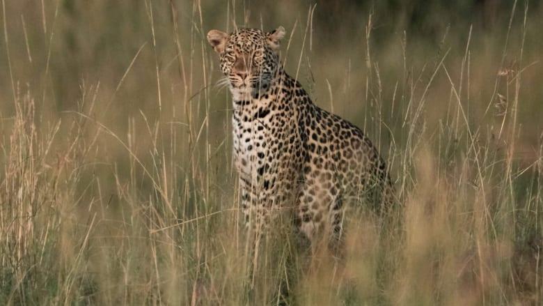 فهد يجلس في محمية ماساي مارا الوطنية جنوب كينيا