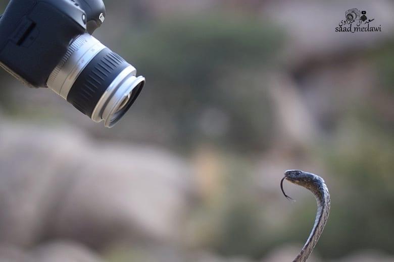 الثعابين في السعودية
