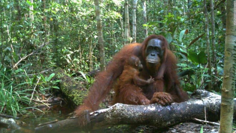 إنسان الغاب البورنيوي