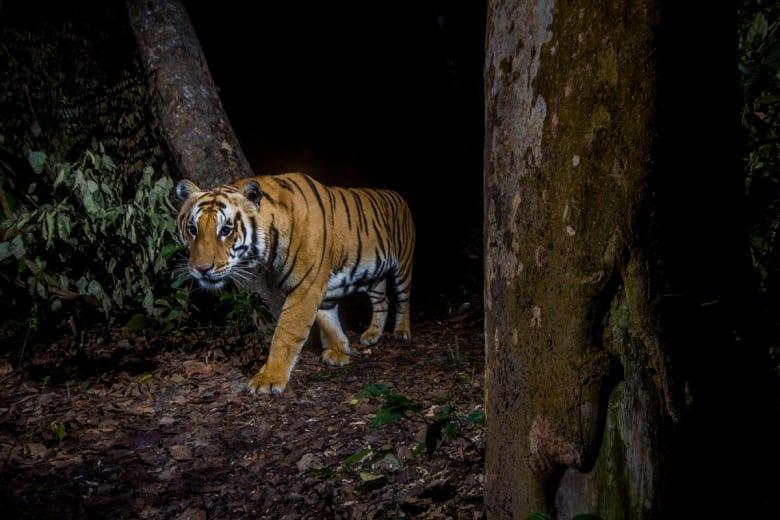 لقطة لحيوان النمر في نيبال