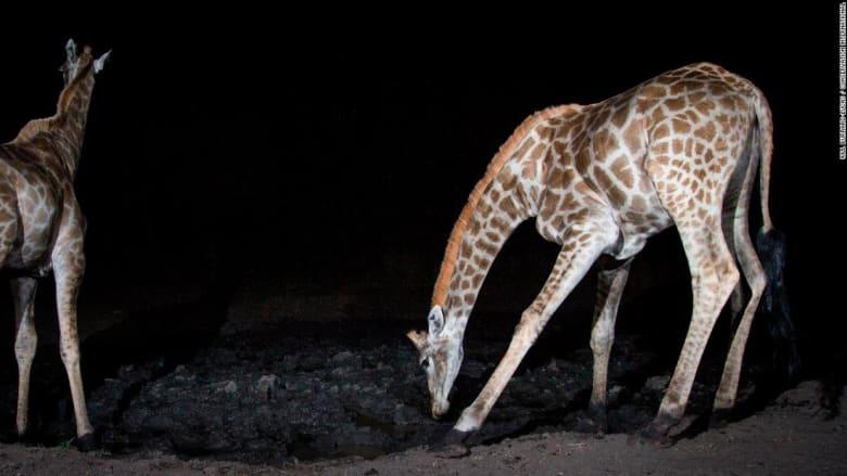 الزرافات في إقليم زامبيزي في ناميبيا