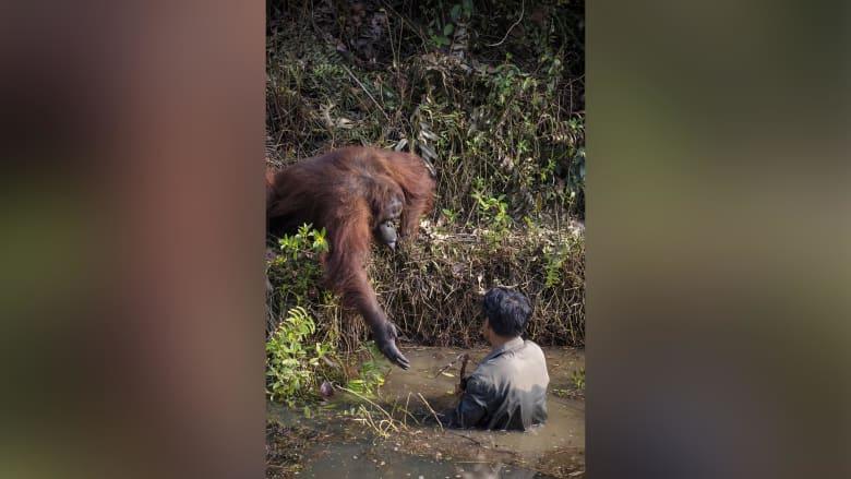 قرد أورانجوتان يمد يده لمساعدة رجل يخوض في مياه مليئة بالثعابين