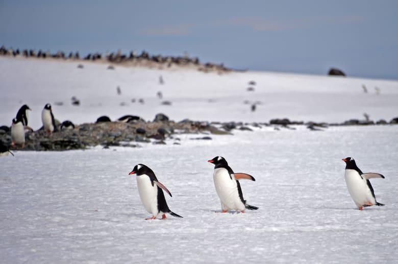 دراسة: مستعمرات البطريق في القطب الجنوبي انخفضت بأكثر من 75٪ على مدار 50 عامًا