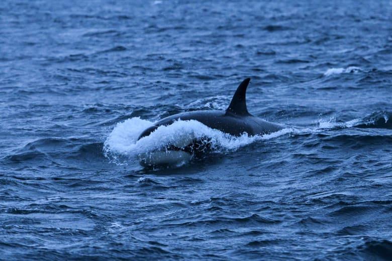 صورة ارشيفية لحوت أوركا التقطت شمال النرويج