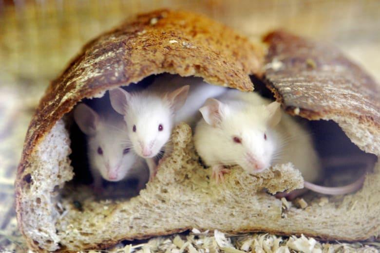 صورة ارشيفية لمجموعة من الفئران داخل رغيف خبز