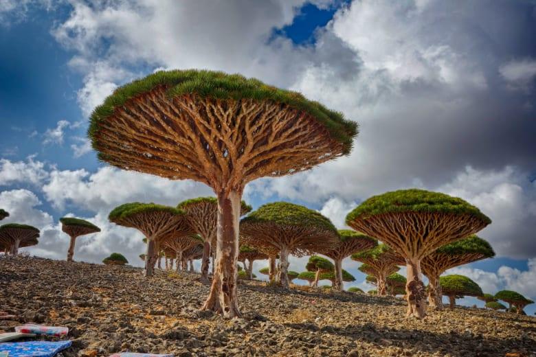 شجرة دم الأخوين باليمن.. هل هي الأغرب بالعالم؟