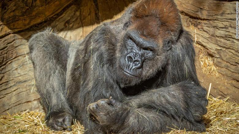 ثبوت إصابة اثنين من الغوريلا بكورونا في حديقة حيوان بكاليفورنيا
