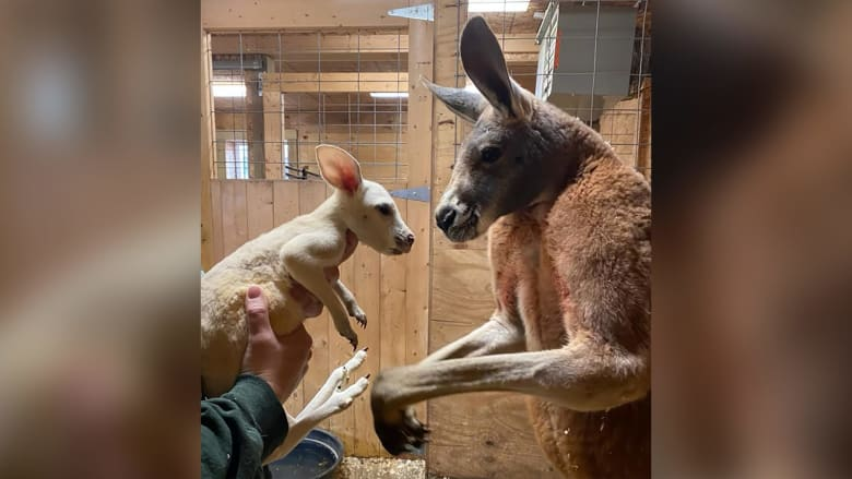 حالته صدمت الموظفين.. ولادة كنغر أبيض نادر جداً في حديقة حيوانات في أمريكا