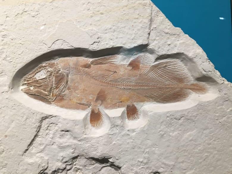 أدت صدفة لاكتشاف أحفورة سمكة قديمة ضخمة سبقت الديناصورات بملايين الأعوام