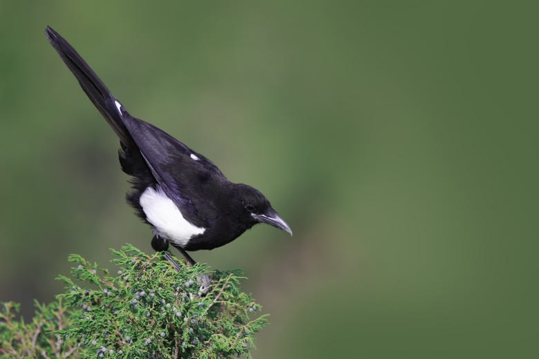 طائر العقعق