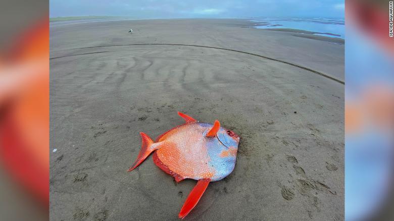 """""""حدث نادر""""..اكتشاف سمكة استوائية وزنها 100 رطل على أحد شواطئ أمريكا"""