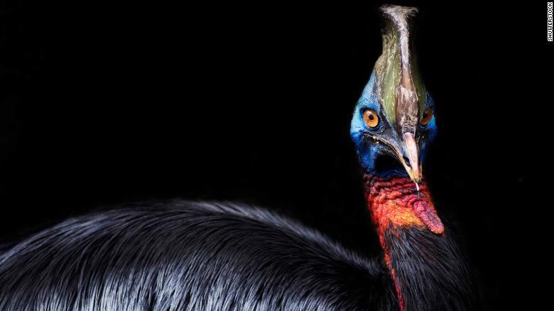 أخطر طائر في العالم..كف قام البشر بتربيته قبل 18 ألف عام؟