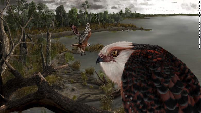 العثور على أحفورة نادرة شبه مكتملة لنسر عاش في جنوب أستراليا قبل 25 مليون عام