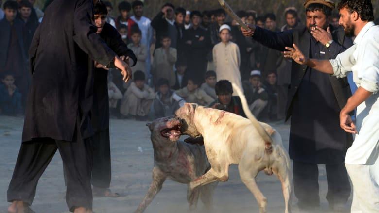 صراع بين كلبين على مشارف مدينة جلال آباد الأفغانية
