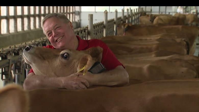 أشخاص يلجأون إلى معانقة الأبقار لتخفيف القلق والتوتر