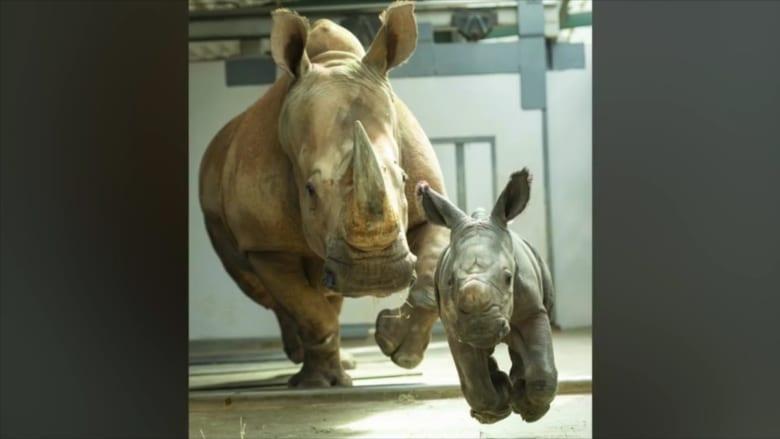 """بعد اقترابه من الانقراض.. ولادة وحيد قرن أبيض في """"مملكة الحيوانات"""""""