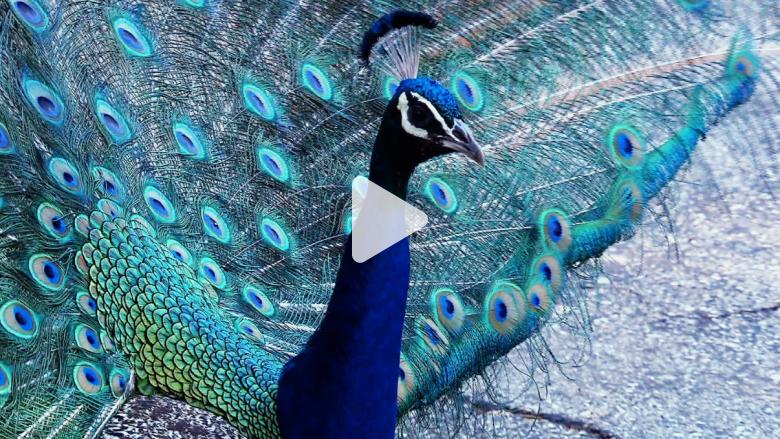 البحث عن قاتل متسلسل ... ضحاياه 50 طاووساً