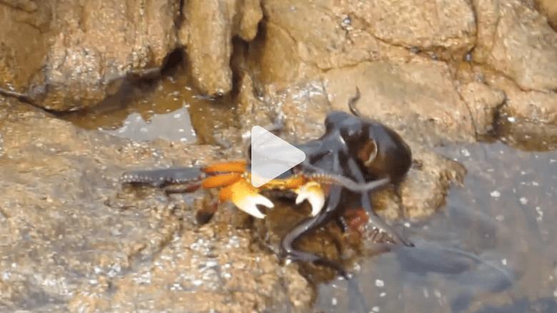 شاهد أخطبوط يقفز من الماء ليغدر بسلطعون